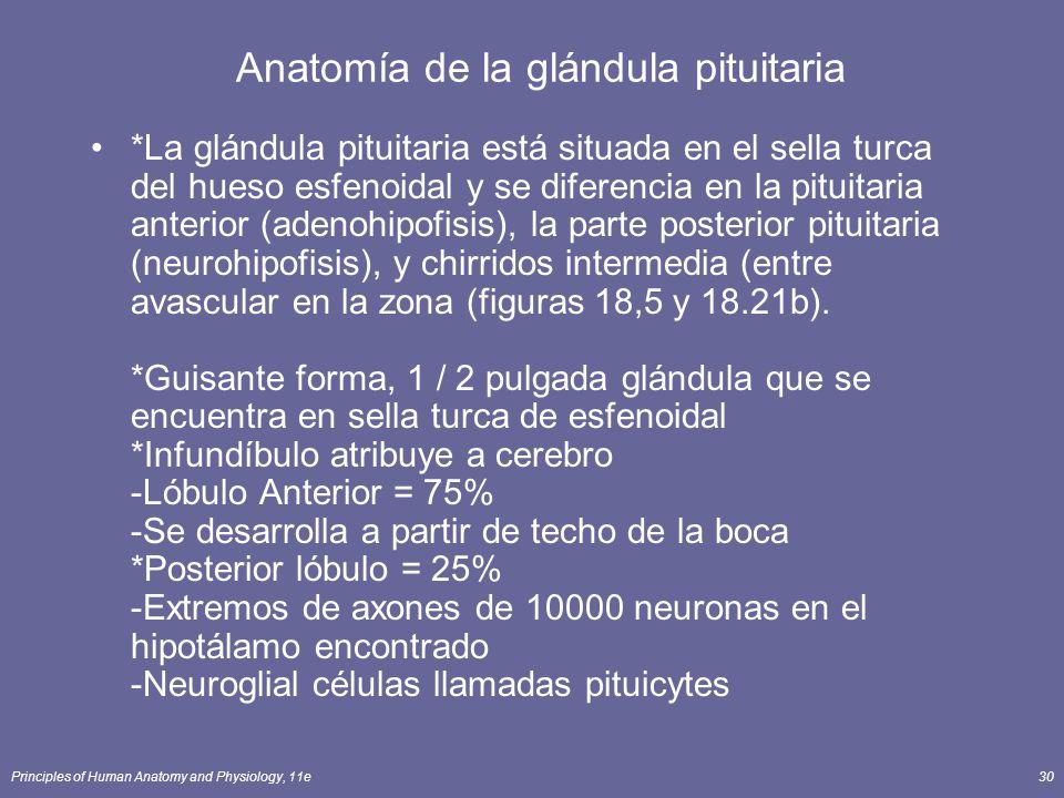 Principles of Human Anatomy and Physiology, 11e30 *La glándula pituitaria está situada en el sella turca del hueso esfenoidal y se diferencia en la pi