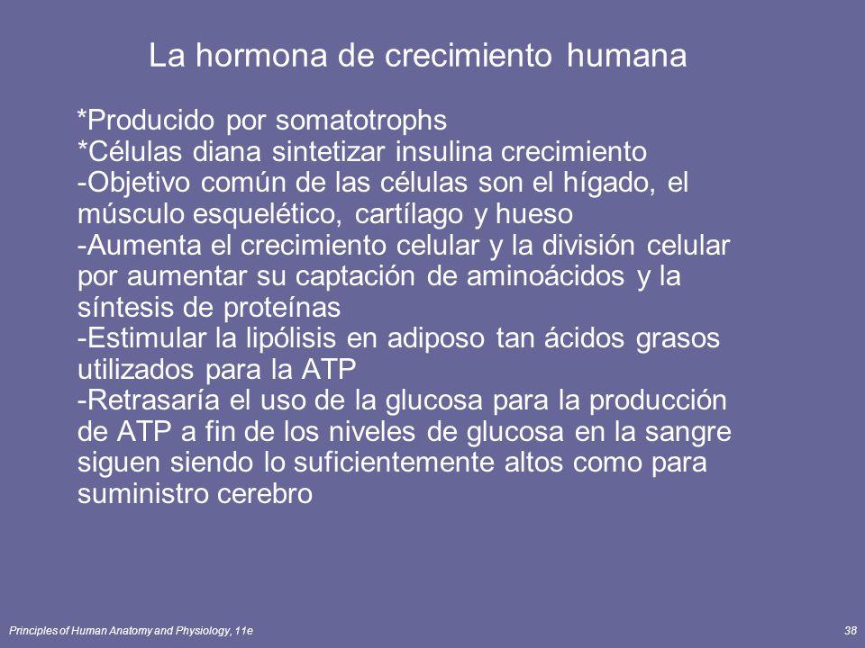 Principles of Human Anatomy and Physiology, 11e38 La hormona de crecimiento humana *Producido por somatotrophs *Células diana sintetizar insulina crec