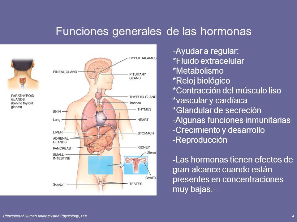 Principles of Human Anatomy and Physiology, 11e5 Definición de Glándulas endocrinas * Glándulas Exocrinas -Segregan productos en los conductos que vacía en cavidades corporales o superficie corporal -Sudor, aceite, mocos, y glándulas digestivas *Glándulas endocrinas -Segregan productos (hormonas) en la sangre Pituitaria, la tiroides, paratiroides, glándulas suprarrenales, pineal -Los demás órganos que segregan hormonas como 2 ª función -Hipotálamo, timo, páncreas, ovarios, testículos, riñones, estómago, hígado, intestino delgado, piel, corazón y la placenta