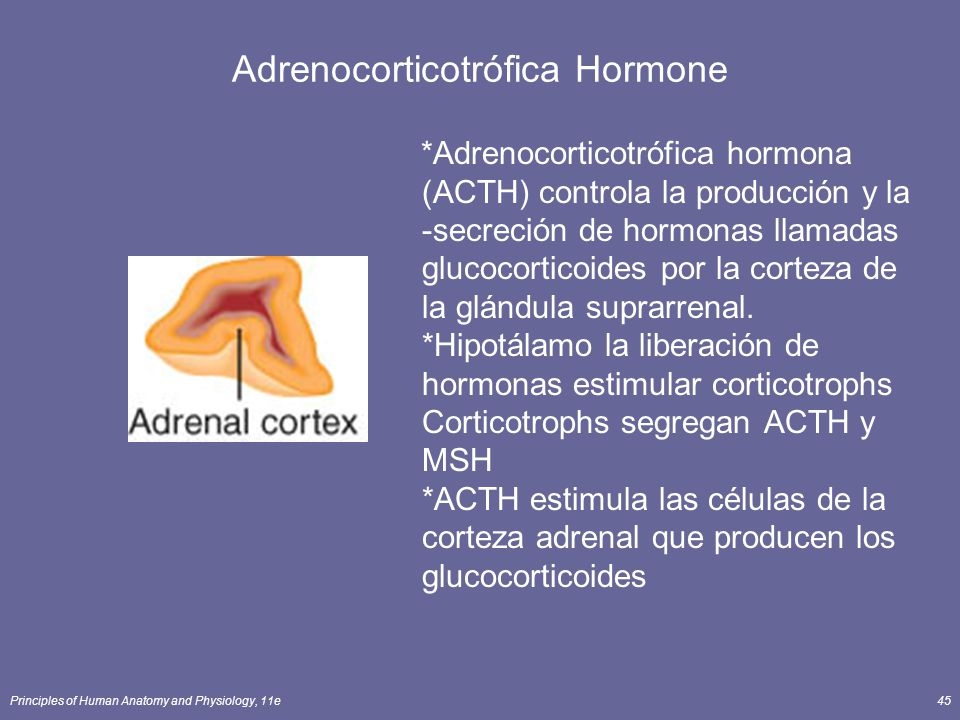Principles of Human Anatomy and Physiology, 11e45 Adrenocorticotrófica Hormone *Adrenocorticotrófica hormona (ACTH) controla la producción y la -secre
