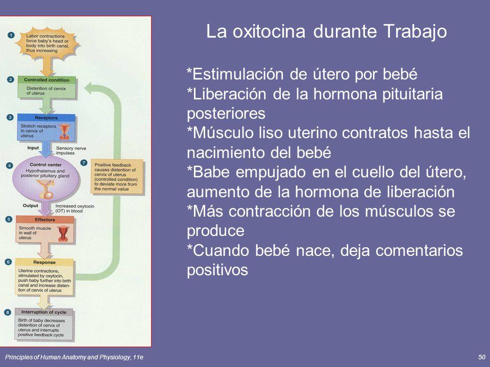 Principles of Human Anatomy and Physiology, 11e50 La oxitocina durante Trabajo *Estimulación de útero por bebé *Liberación de la hormona pituitaria po