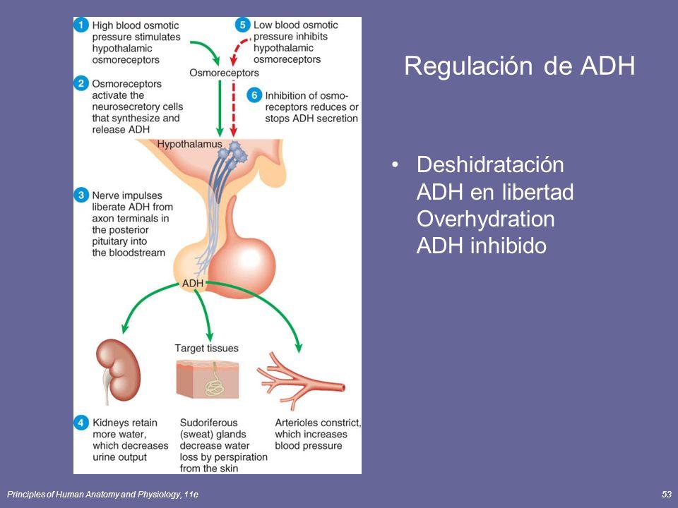 Principles of Human Anatomy and Physiology, 11e53 Regulación de ADH Deshidratación ADH en libertad Overhydration ADH inhibido