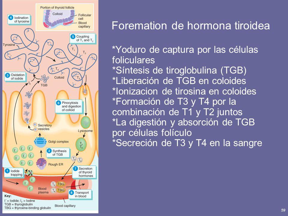 Principles of Human Anatomy and Physiology, 11e59 Foremation de hormona tiroidea *Yoduro de captura por las células foliculares *Síntesis de tiroglobu