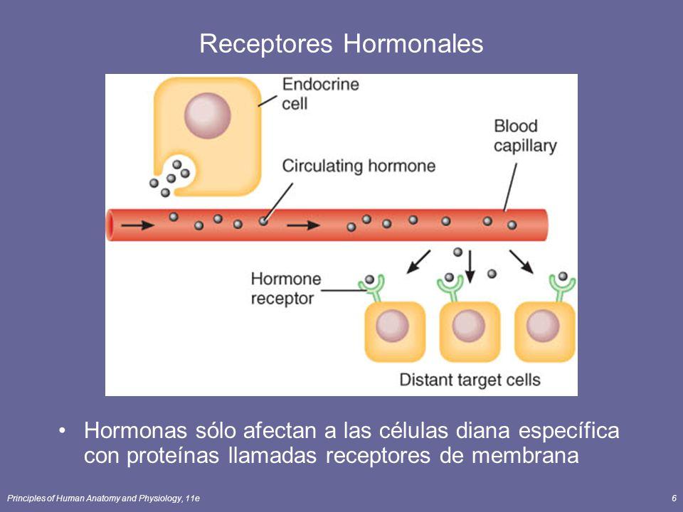 Principles of Human Anatomy and Physiology, 11e6 Receptores Hormonales Hormonas sólo afectan a las células diana específica con proteínas llamadas rec