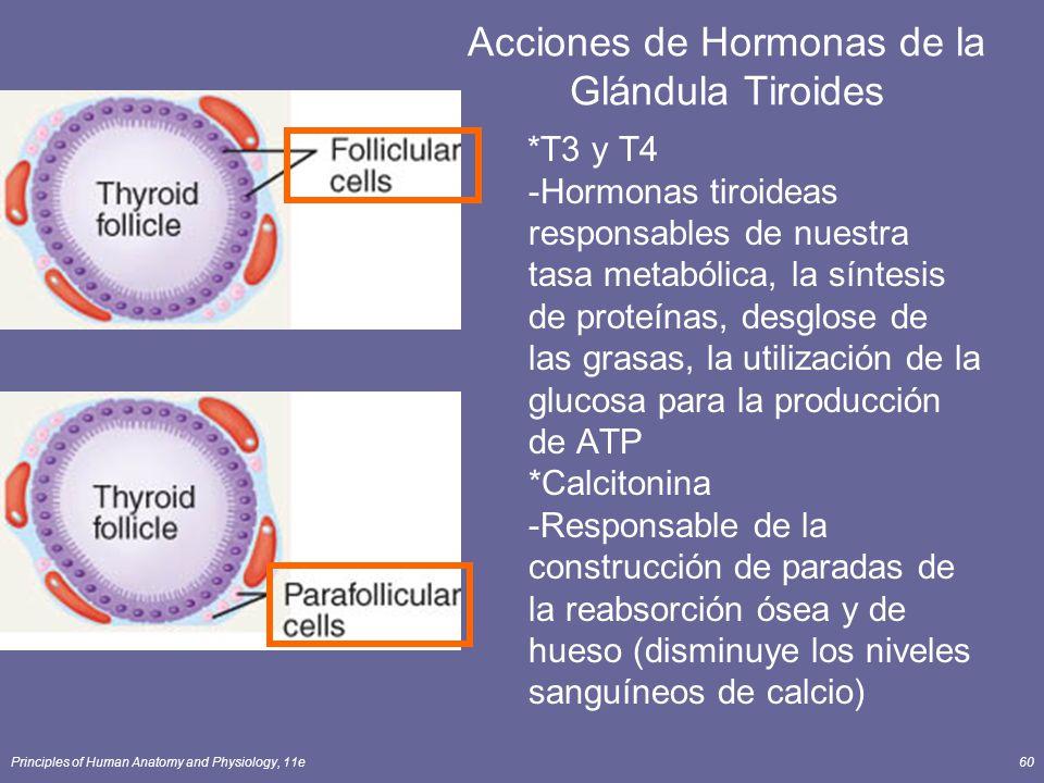 Principles of Human Anatomy and Physiology, 11e60 Acciones de Hormonas de la Glándula Tiroides *T3 y T4 -Hormonas tiroideas responsables de nuestra ta