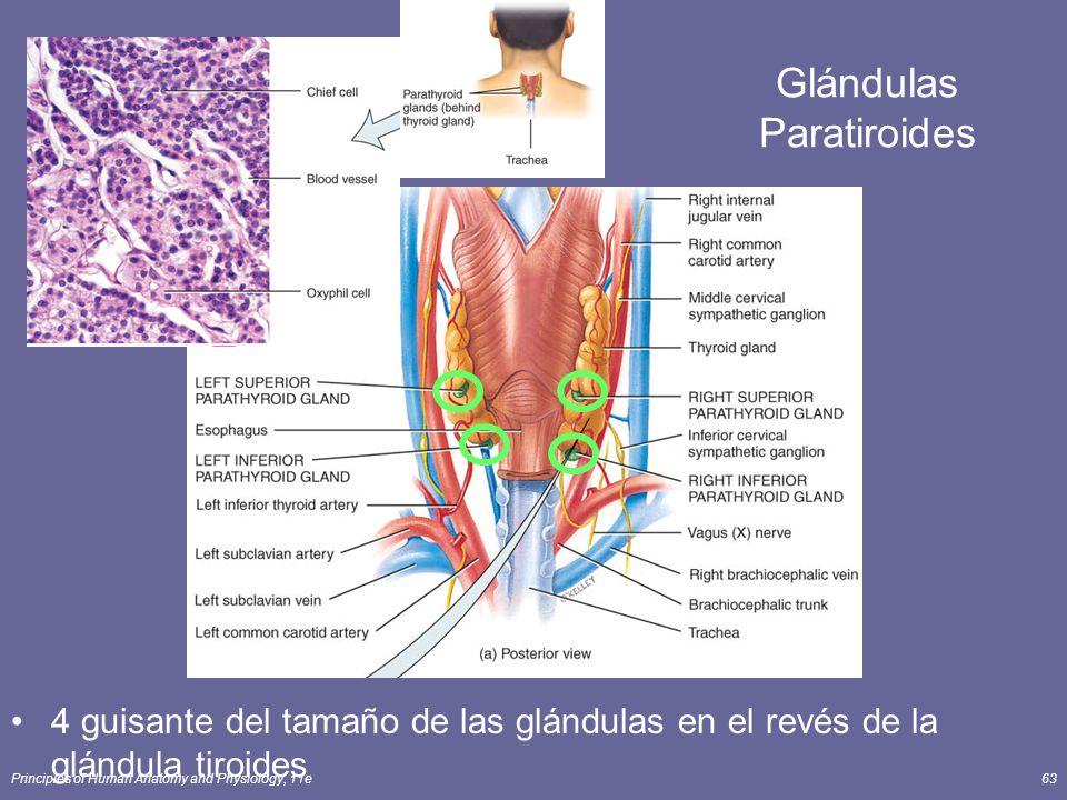 Principles of Human Anatomy and Physiology, 11e63 Glándulas Paratiroides 4 guisante del tamaño de las glándulas en el revés de la glándula tiroides