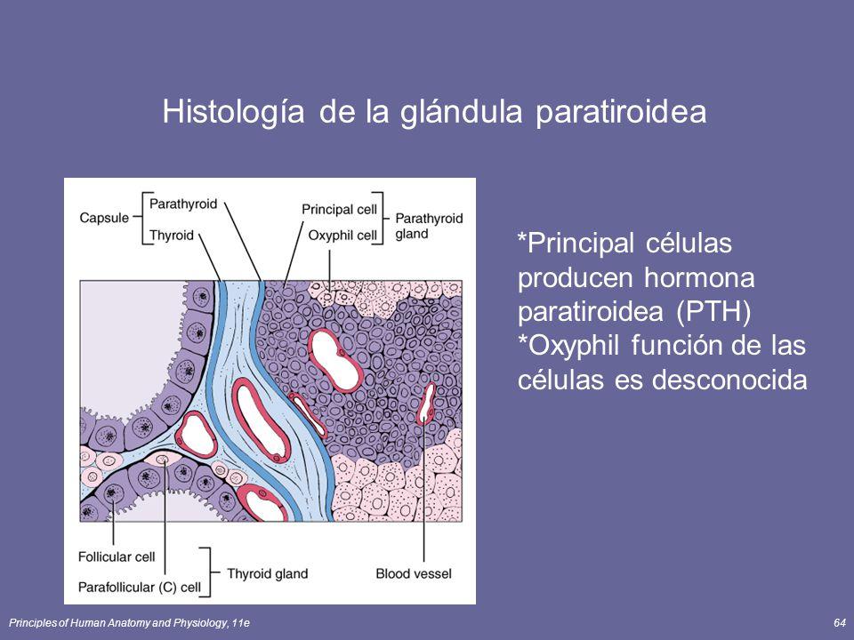 Principles of Human Anatomy and Physiology, 11e64 Histología de la glándula paratiroidea *Principal células producen hormona paratiroidea (PTH) *Oxyph
