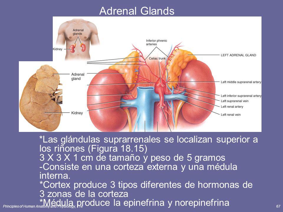 Principles of Human Anatomy and Physiology, 11e67 Adrenal Glands *Las glándulas suprarrenales se localizan superior a los riñones (Figura 18.15) 3 X 3