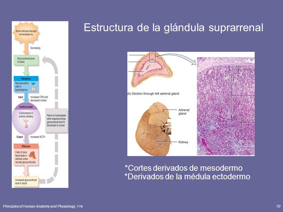 Principles of Human Anatomy and Physiology, 11e70 *Cortes derivados de mesodermo *Derivados de la médula ectodermo Estructura de la glándula suprarren