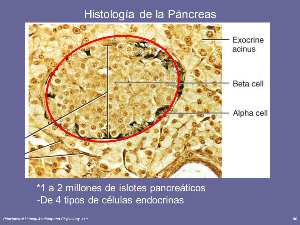 Principles of Human Anatomy and Physiology, 11e80 Histología de la Páncreas *1 a 2 millones de islotes pancreáticos -De 4 tipos de células endocrinas