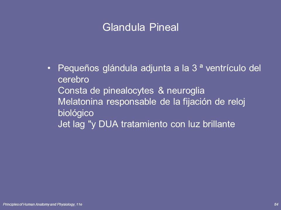 Principles of Human Anatomy and Physiology, 11e84 Glandula Pineal Pequeños glándula adjunta a la 3 ª ventrículo del cerebro Consta de pinealocytes & n