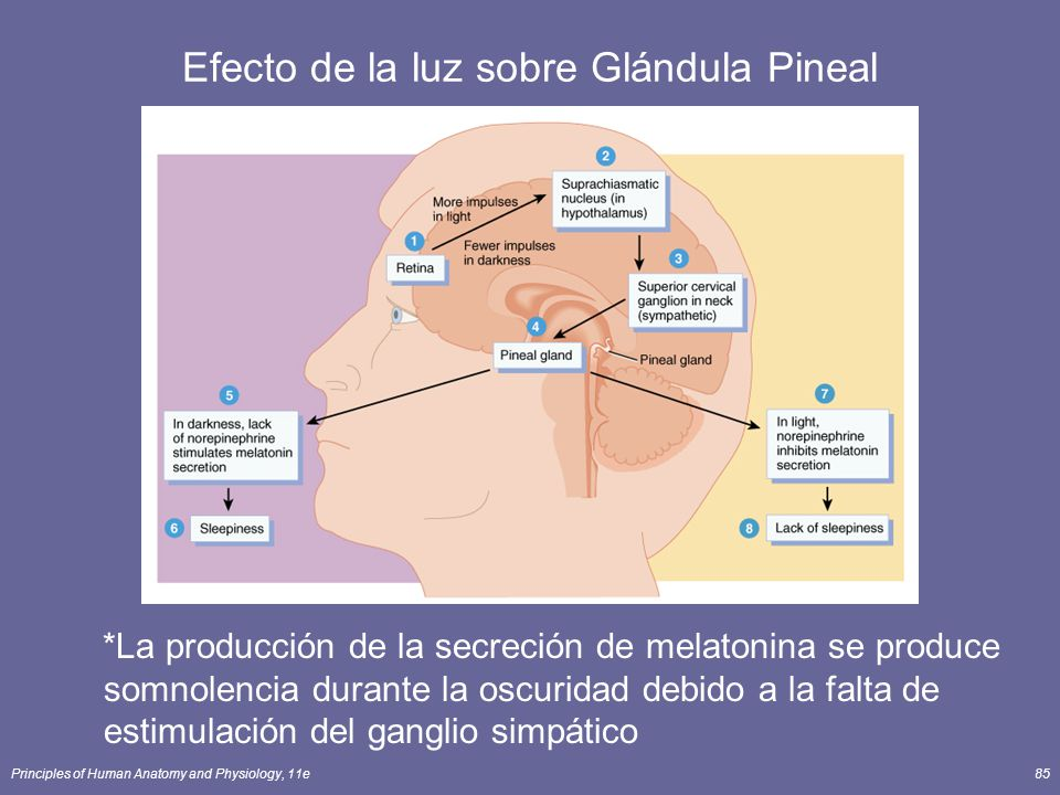 Principles of Human Anatomy and Physiology, 11e85 Efecto de la luz sobre Glándula Pineal *La producción de la secreción de melatonina se produce somno