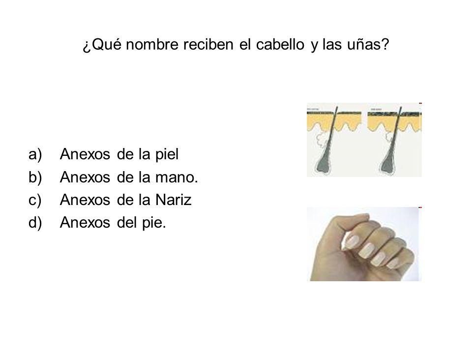 ¿Qué nombre reciben el cabello y las uñas? a)Anexos de la piel b)Anexos de la mano. c)Anexos de la Nariz d)Anexos del pie.