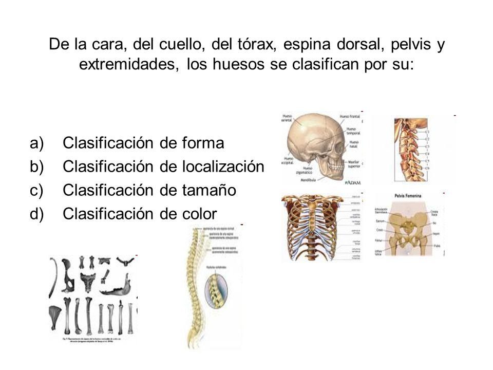 De la cara, del cuello, del tórax, espina dorsal, pelvis y extremidades, los huesos se clasifican por su: a)Clasificación de forma b)Clasificación de localización c)Clasificación de tamaño d)Clasificación de color