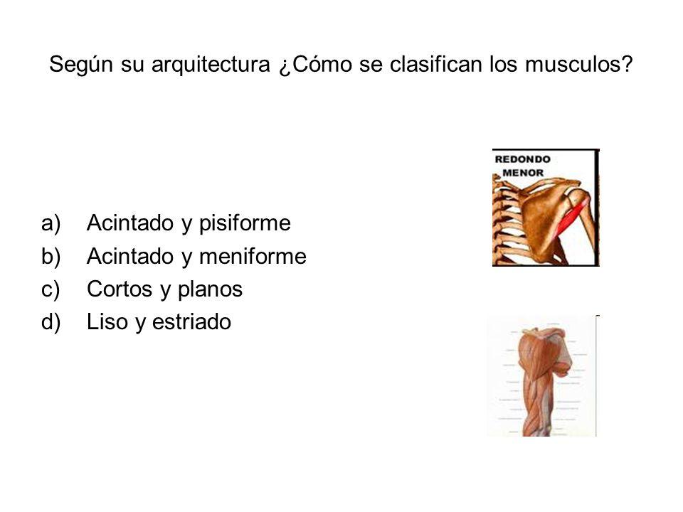 Según su arquitectura ¿Cómo se clasifican los musculos? a)Acintado y pisiforme b)Acintado y meniforme c)Cortos y planos d)Liso y estriado