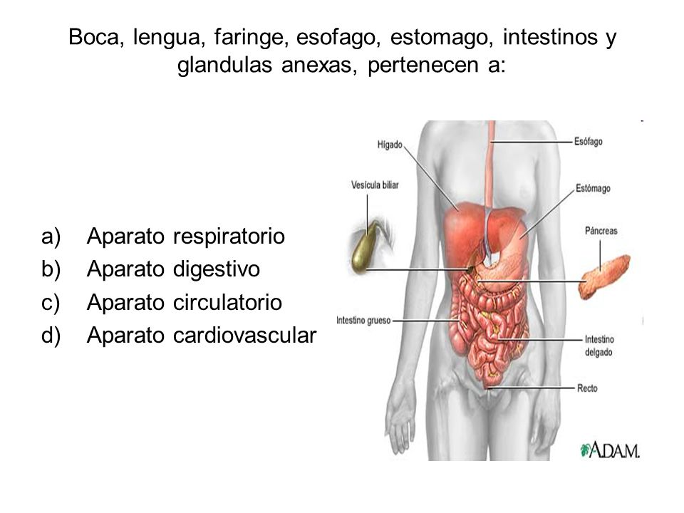 Boca, lengua, faringe, esofago, estomago, intestinos y glandulas anexas, pertenecen a: a)Aparato respiratorio b)Aparato digestivo c)Aparato circulator