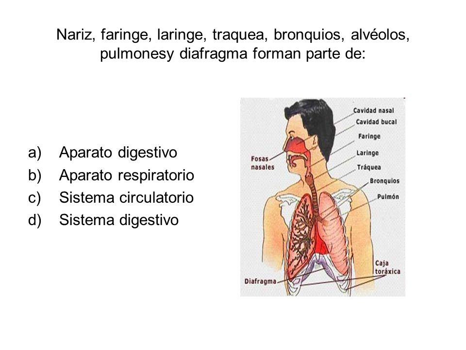 Nariz, faringe, laringe, traquea, bronquios, alvéolos, pulmonesy diafragma forman parte de: a)Aparato digestivo b)Aparato respiratorio c)Sistema circulatorio d)Sistema digestivo