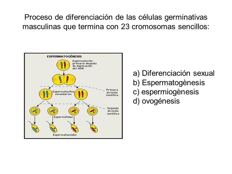 Proceso de diferenciación de las células germinativas masculinas que termina con 23 cromosomas sencillos: a) Diferenciación sexual b) Espermatogènesis