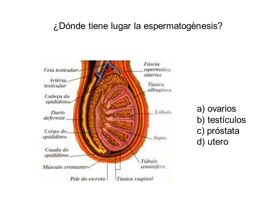 ¿Dónde tiene lugar la espermatogènesis? a) ovarios b) testículos c) próstata d) utero