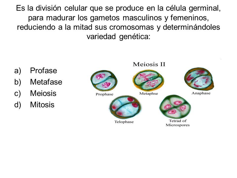 Es la división celular que se produce en la célula germinal, para madurar los gametos masculinos y femeninos, reduciendo a la mitad sus cromosomas y determinándoles variedad genética: a)Profase b)Metafase c)Meiosis d)Mitosis