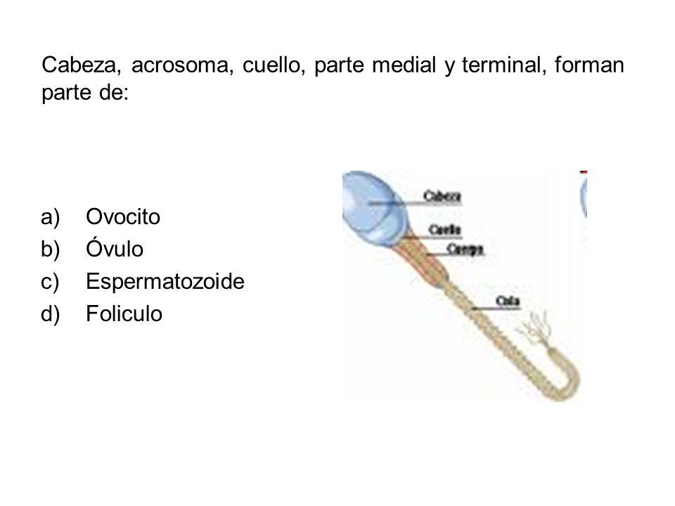 Cabeza, acrosoma, cuello, parte medial y terminal, forman parte de: a)Ovocito b)Óvulo c)Espermatozoide d)Foliculo