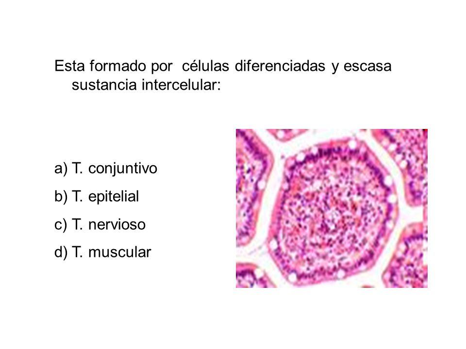 Esta formado por células diferenciadas y escasa sustancia intercelular: a)T. conjuntivo b)T. epitelial c)T. nervioso d)T. muscular