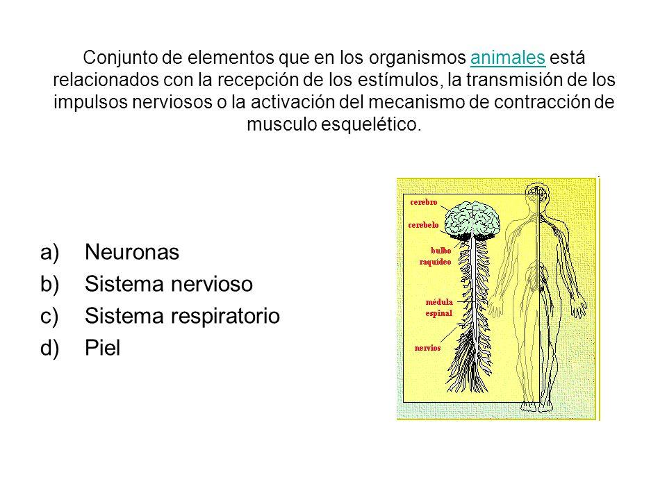 Conjunto de elementos que en los organismos animales está relacionados con la recepción de los estímulos, la transmisión de los impulsos nerviosos o la activación del mecanismo de contracción de musculo esquelético.animales a)Neuronas b)Sistema nervioso c)Sistema respiratorio d)Piel