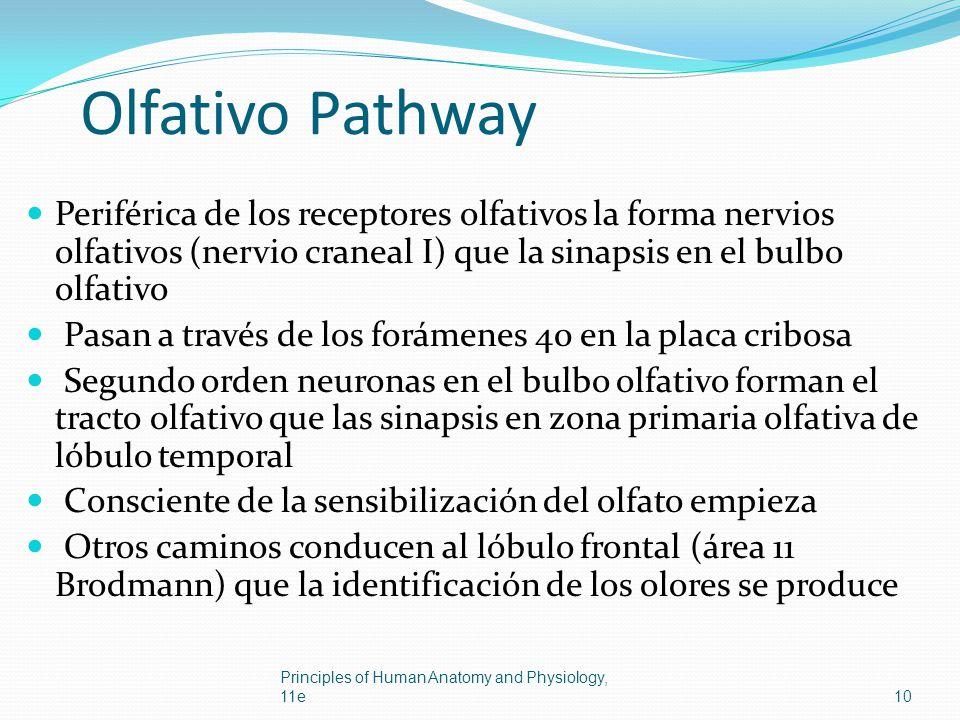 Olfativo Pathway Periférica de los receptores olfativos la forma nervios olfativos (nervio craneal I) que la sinapsis en el bulbo olfativo Pasan a tra