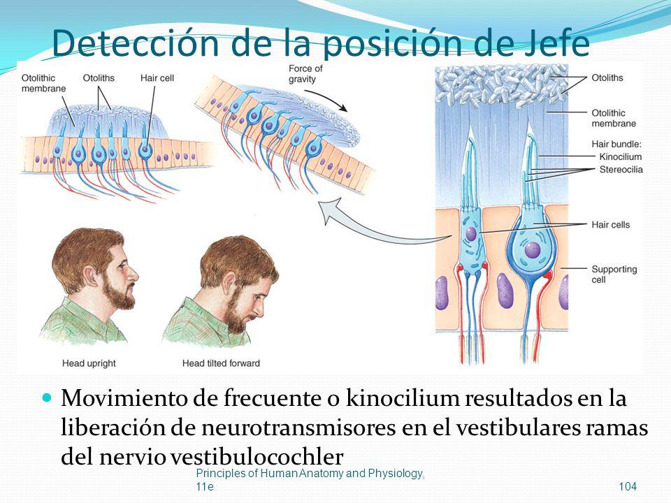 Detección de la posición de Jefe Movimiento de frecuente o kinocilium resultados en la liberación de neurotransmisores en el vestibulares ramas del ne