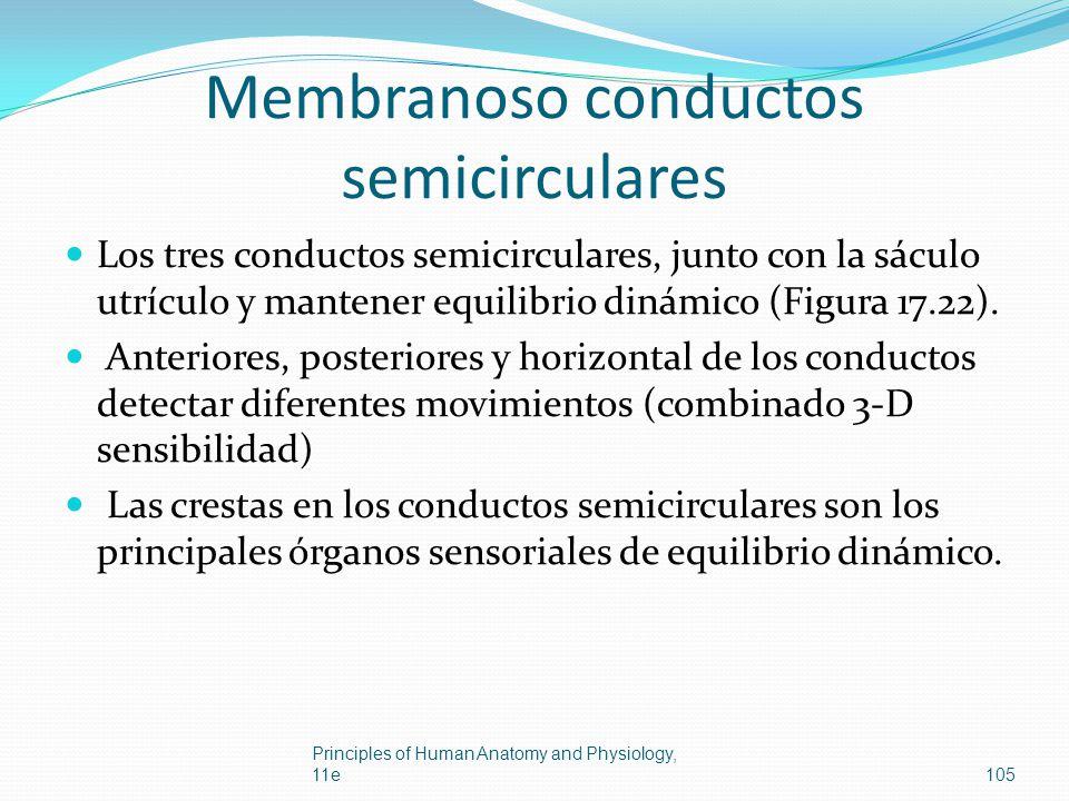 Membranoso conductos semicirculares Los tres conductos semicirculares, junto con la sáculo utrículo y mantener equilibrio dinámico (Figura 17.22). Ant