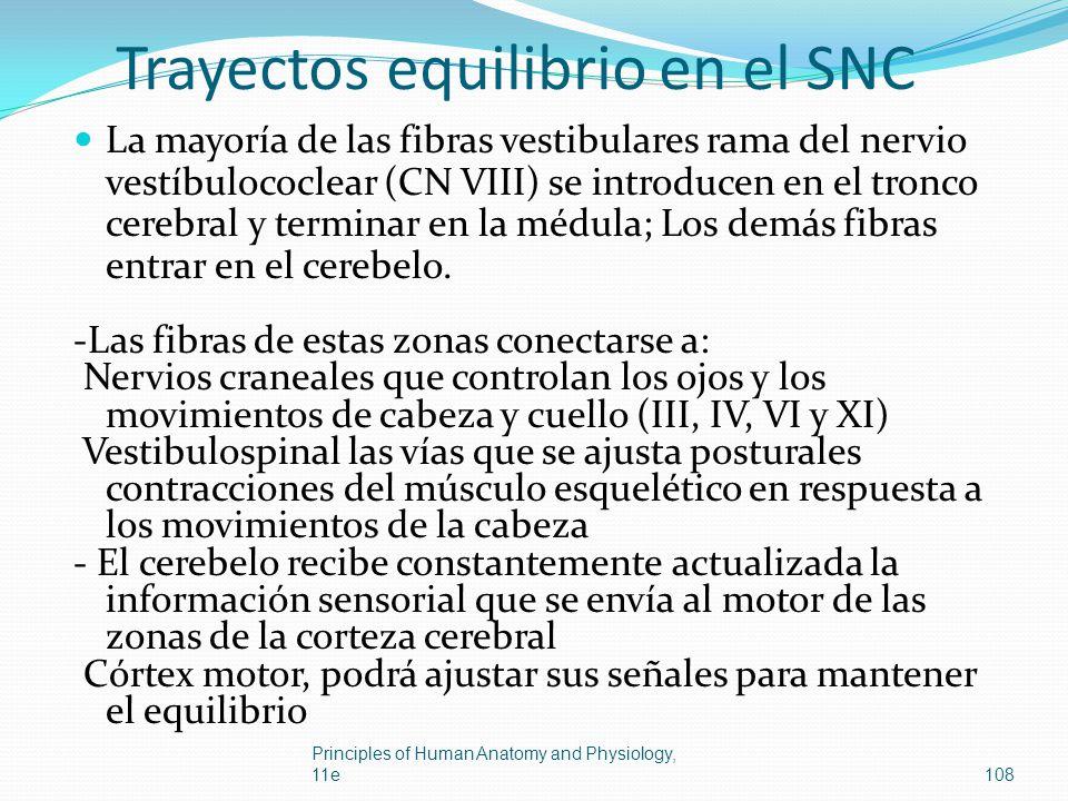 Trayectos equilibrio en el SNC La mayoría de las fibras vestibulares rama del nervio vestíbulococlear (CN VIII) se introducen en el tronco cerebral y