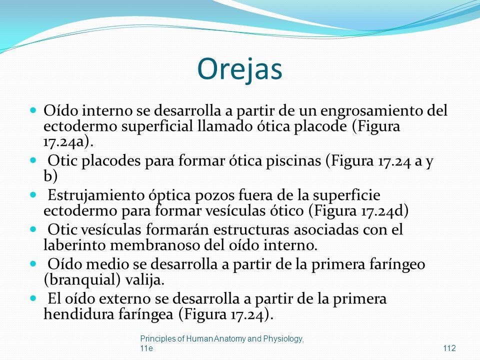 Orejas Oído interno se desarrolla a partir de un engrosamiento del ectodermo superficial llamado ótica placode (Figura 17.24a). Otic placodes para for