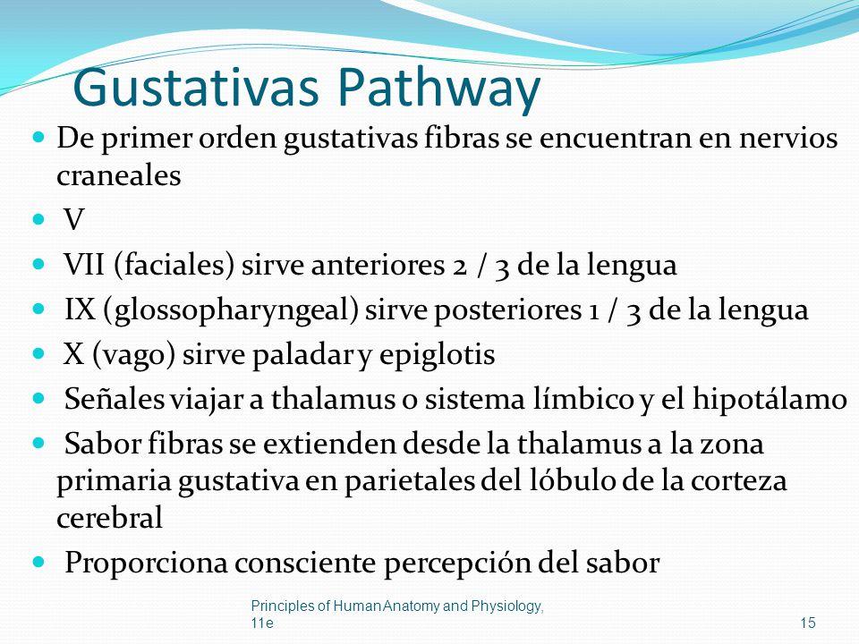 Gustativas Pathway De primer orden gustativas fibras se encuentran en nervios craneales V VII (faciales) sirve anteriores 2 / 3 de la lengua IX (gloss