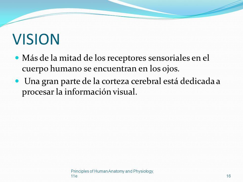 VISION Más de la mitad de los receptores sensoriales en el cuerpo humano se encuentran en los ojos. Una gran parte de la corteza cerebral está dedicad