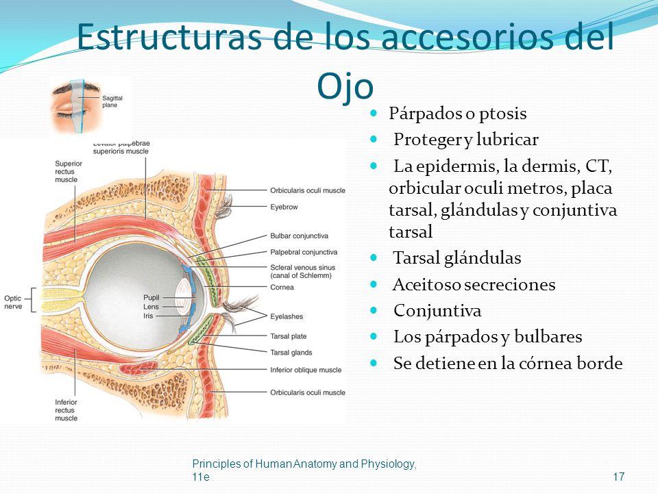 Estructuras de los accesorios del Ojo Párpados o ptosis Proteger y lubricar La epidermis, la dermis, CT, orbicular oculi metros, placa tarsal, glándul