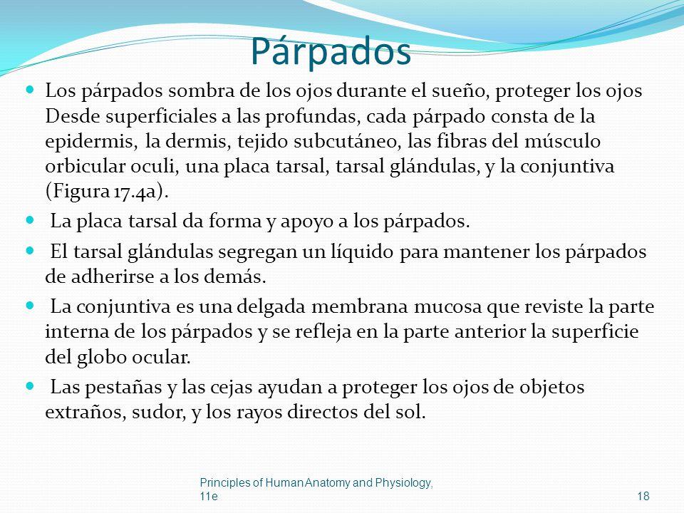 Párpados Los párpados sombra de los ojos durante el sueño, proteger los ojos Desde superficiales a las profundas, cada párpado consta de la epidermis,