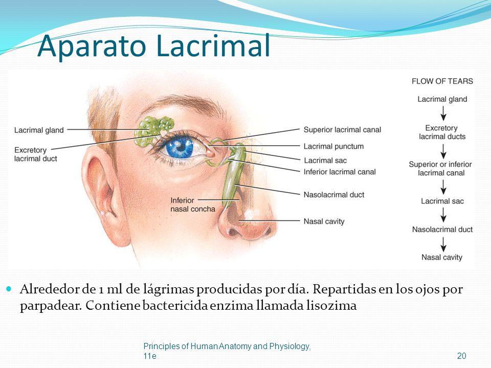 Aparato Lacrimal Alrededor de 1 ml de lágrimas producidas por día. Repartidas en los ojos por parpadear. Contiene bactericida enzima llamada lisozima