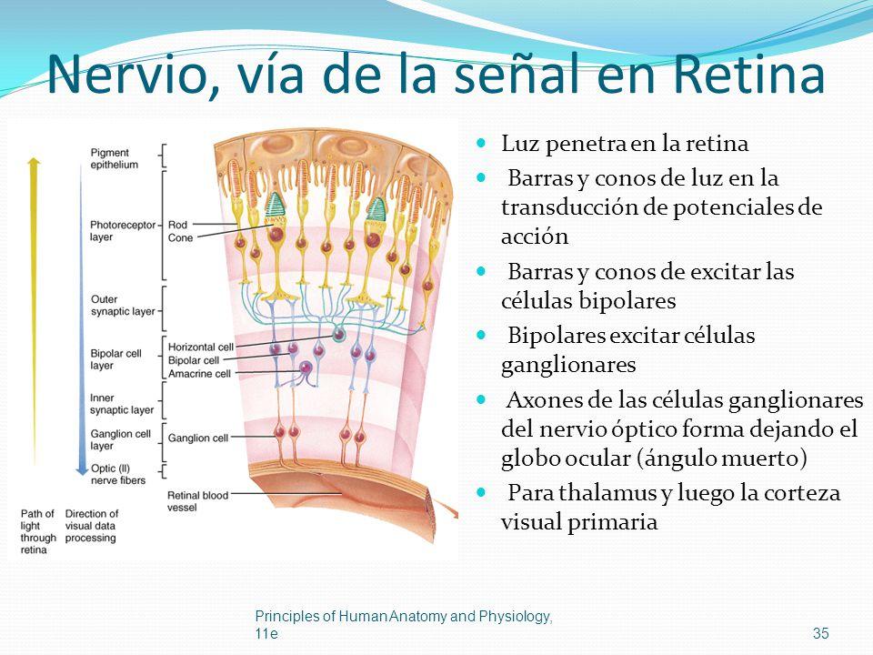 Nervio, vía de la señal en Retina Luz penetra en la retina Barras y conos de luz en la transducción de potenciales de acción Barras y conos de excitar