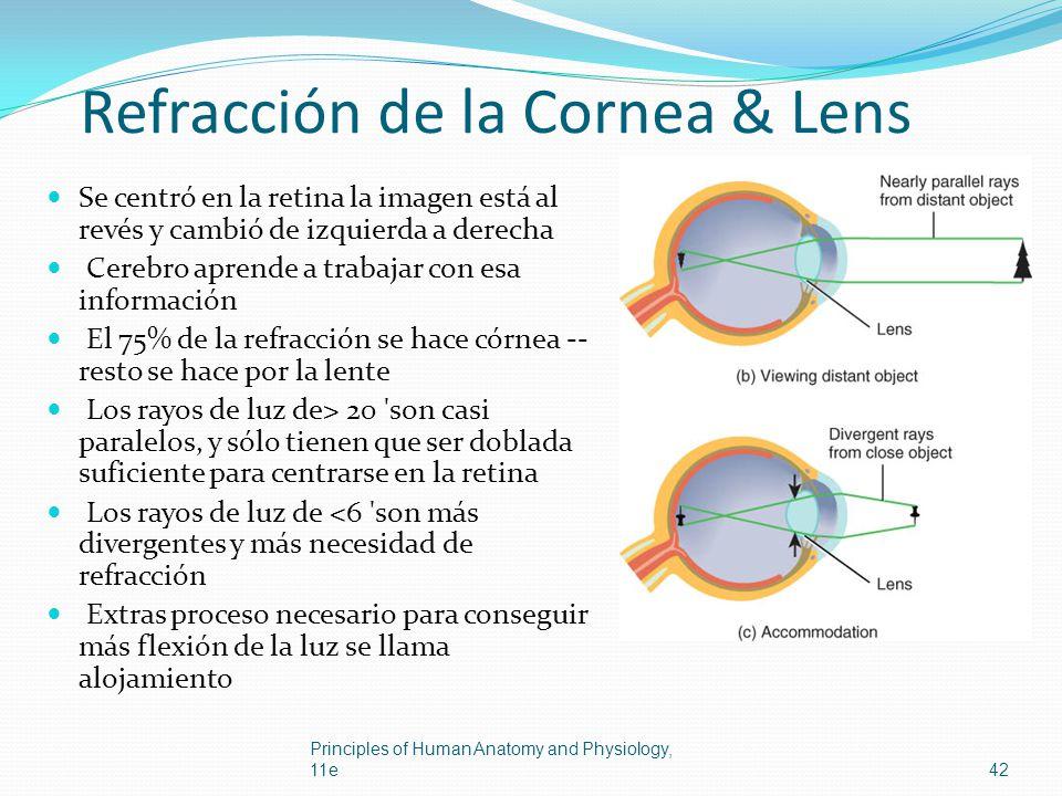 Refracción de la Cornea & Lens Se centró en la retina la imagen está al revés y cambió de izquierda a derecha Cerebro aprende a trabajar con esa infor