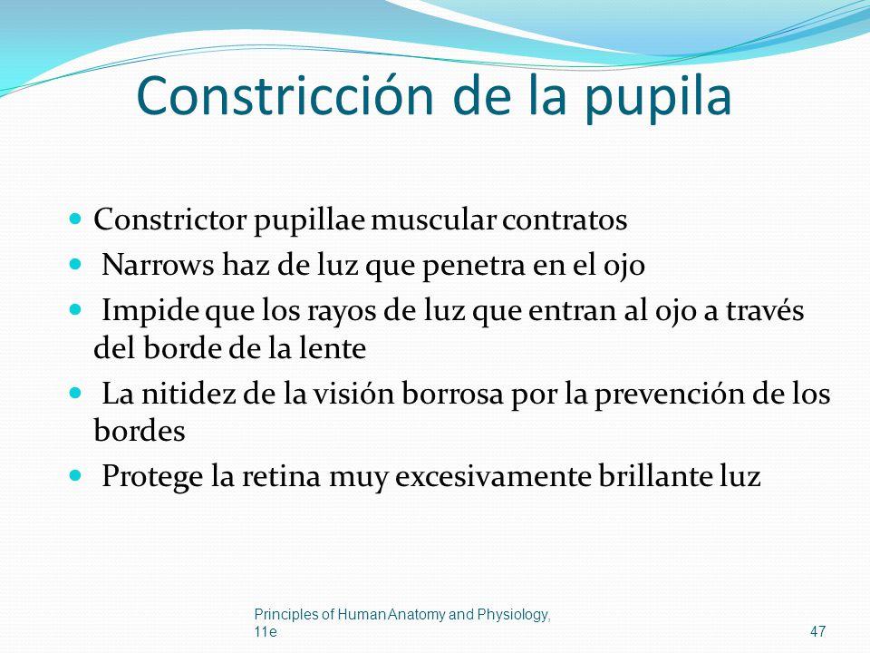 Constricción de la pupila Constrictor pupillae muscular contratos Narrows haz de luz que penetra en el ojo Impide que los rayos de luz que entran al o