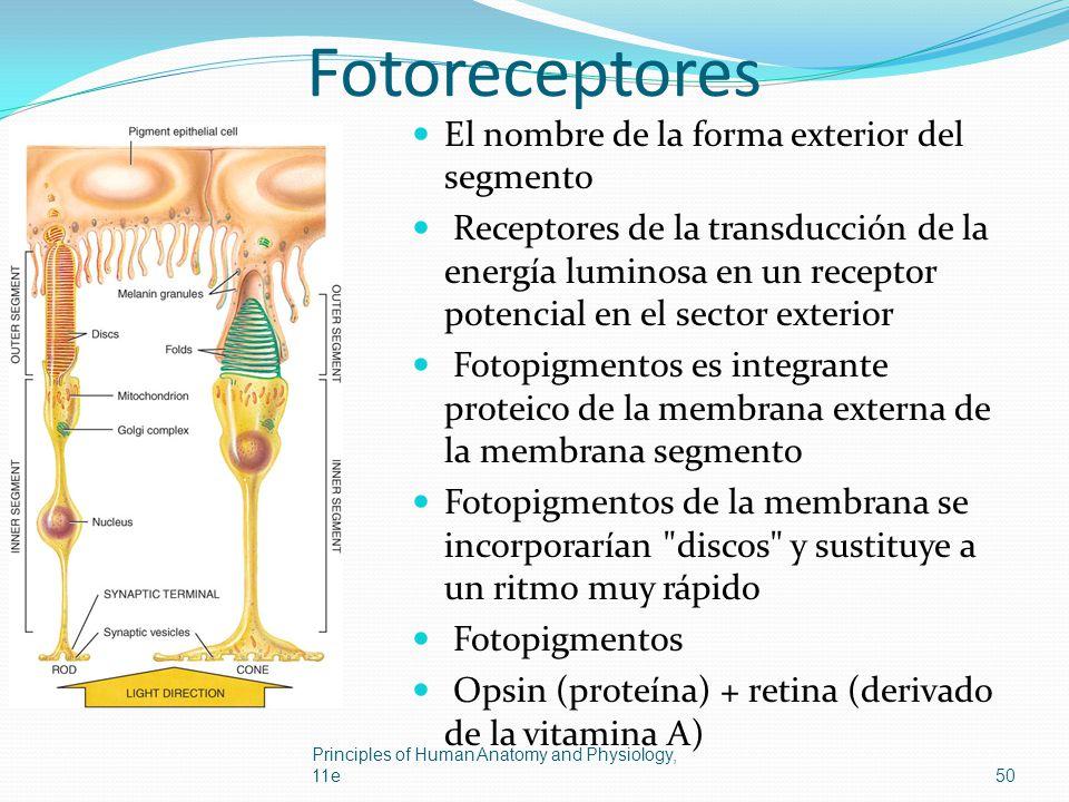 Fotoreceptores El nombre de la forma exterior del segmento Receptores de la transducción de la energía luminosa en un receptor potencial en el sector