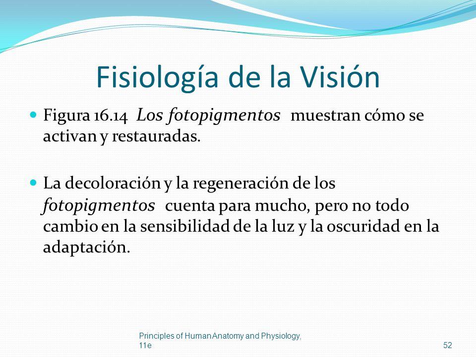Fisiología de la Visión Figura 16.14 Los fotopigmentos muestran cómo se activan y restauradas. La decoloración y la regeneración de los fotopigmentos