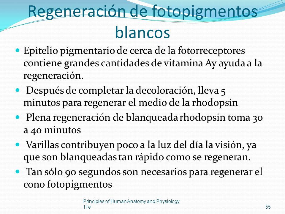 Regeneración de fotopigmentos blancos Epitelio pigmentario de cerca de la fotorreceptores contiene grandes cantidades de vitamina Ay ayuda a la regene