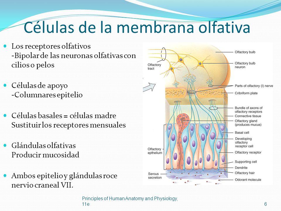 Células de la membrana olfativa Los receptores olfativos -Bipolar de las neuronas olfativas con cilios o pelos Células de apoyo -Columnares epitelio C