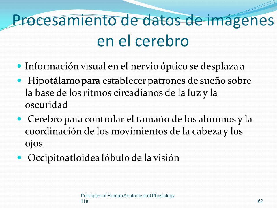 Procesamiento de datos de imágenes en el cerebro Información visual en el nervio óptico se desplaza a Hipotálamo para establecer patrones de sueño sob