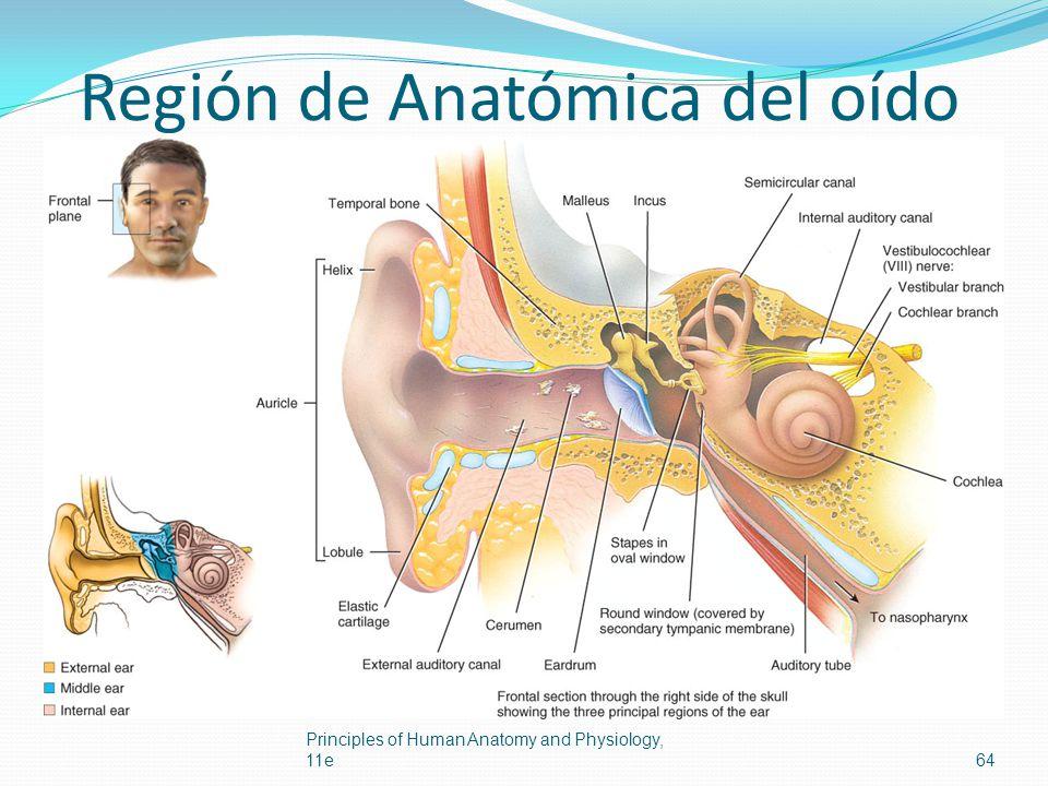 Región de Anatómica del oído Principles of Human Anatomy and Physiology, 11e64