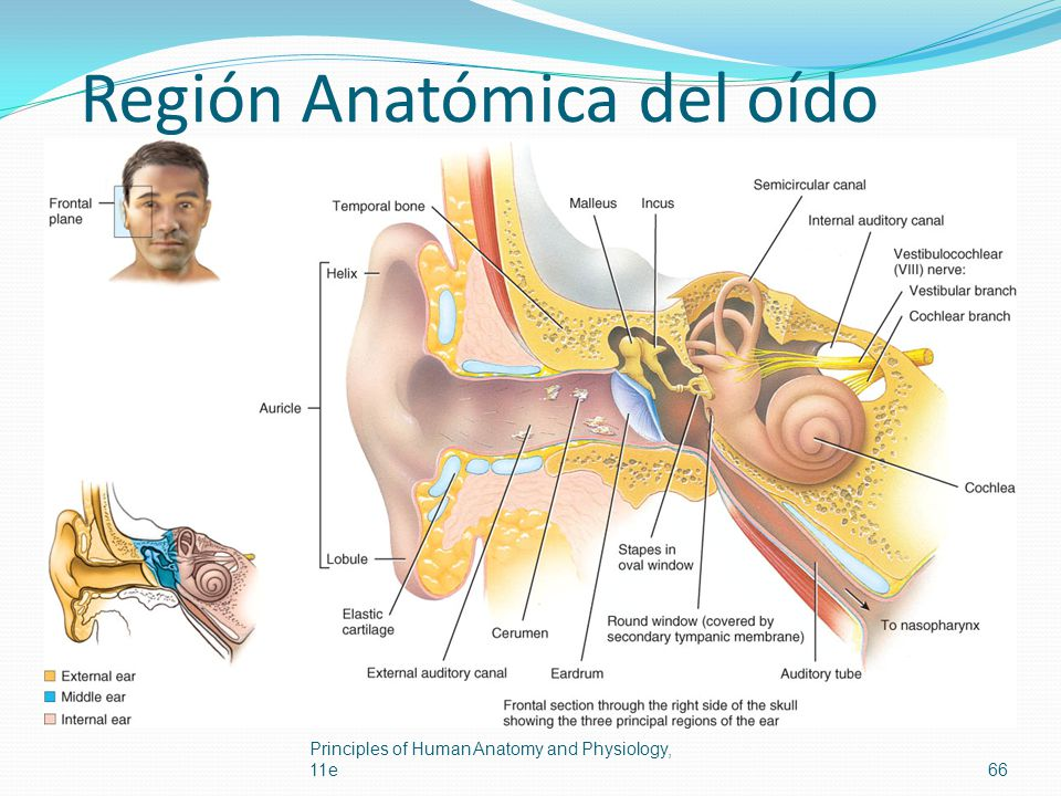 Región Anatómica del oído Principles of Human Anatomy and Physiology, 11e66