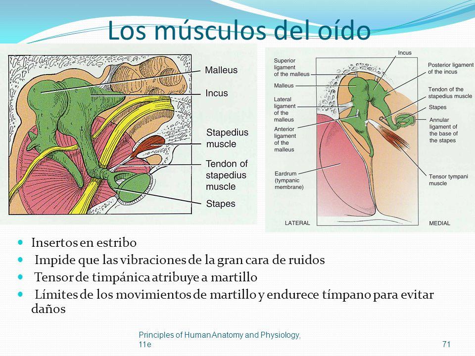 Los músculos del oído Insertos en estribo Impide que las vibraciones de la gran cara de ruidos Tensor de timpánica atribuye a martillo Límites de los