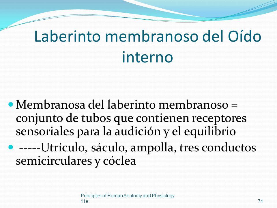 Laberinto membranoso del Oído interno Membranosa del laberinto membranoso = conjunto de tubos que contienen receptores sensoriales para la audición y