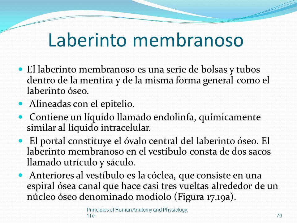 Laberinto membranoso El laberinto membranoso es una serie de bolsas y tubos dentro de la mentira y de la misma forma general como el laberinto óseo. A